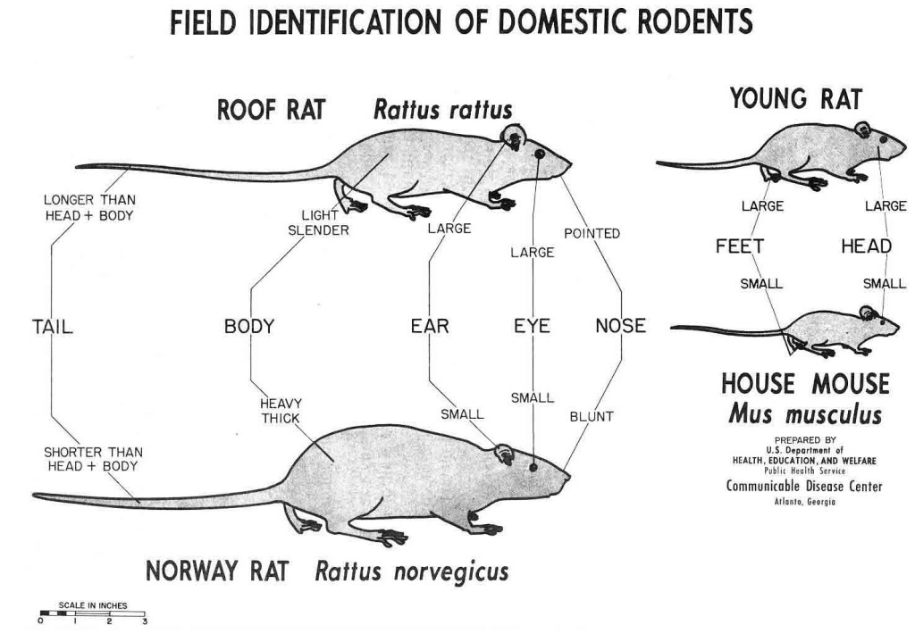 rodents id rats